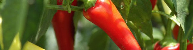 Production et transformation de capsicum